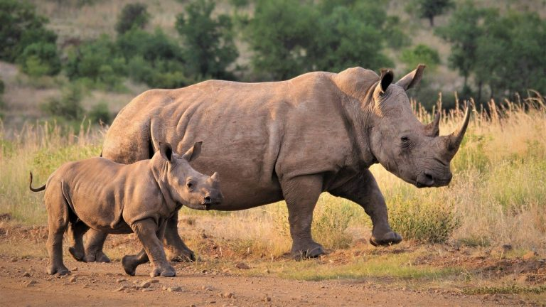 white rhino, calf, mother